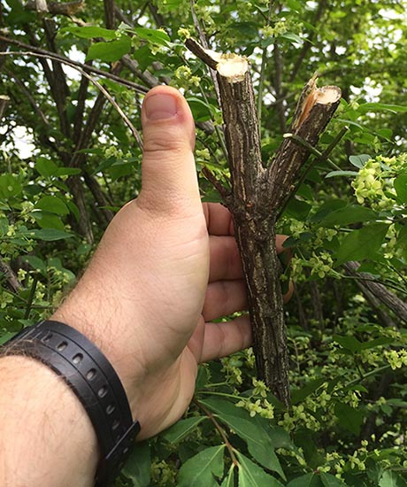 EGO Hedge trimmer branch cut compared to thumb