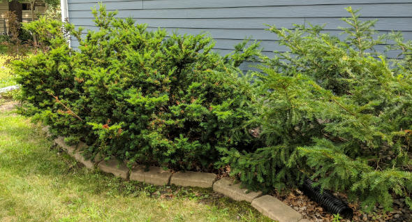 Yew bush before trimming with Milwaukee M18 Fuel Hedge Trimmer