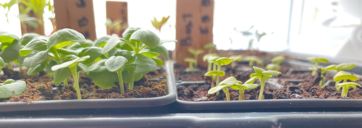 Basil Seedlings at 14 Days