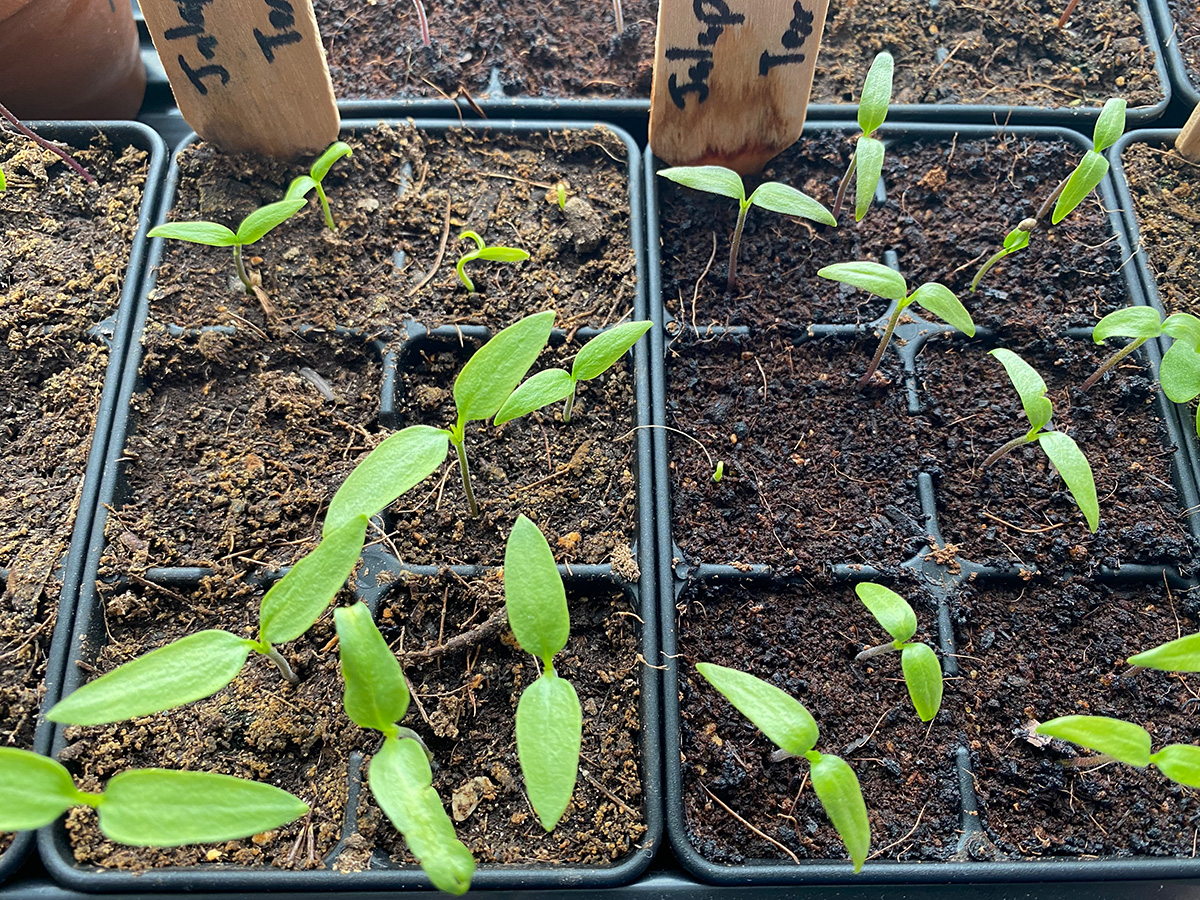 Jalapeno Seedlings at 11 Days