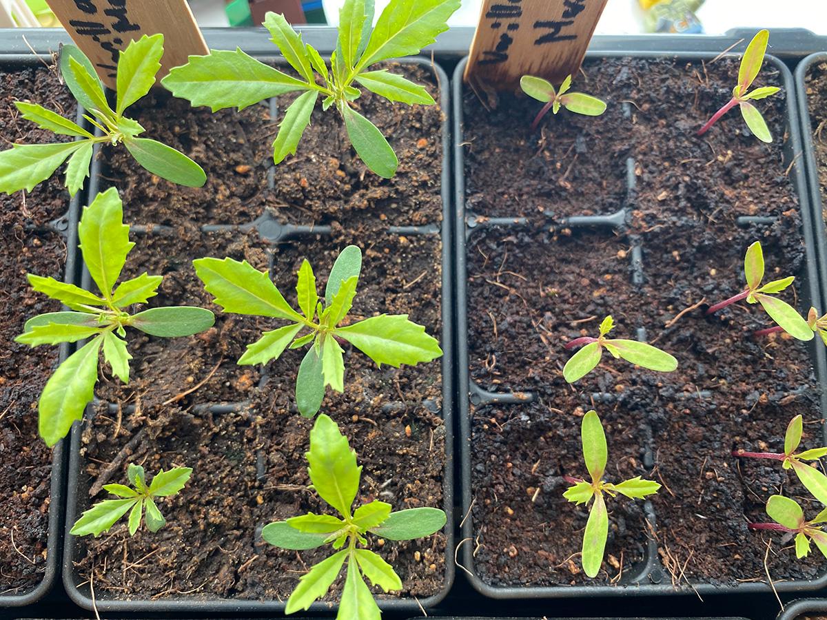 Vanilla Marigold Seedlings at 11 Days