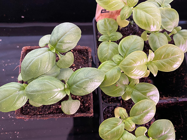 2020 Seed Starting Experiment Basil Differences
