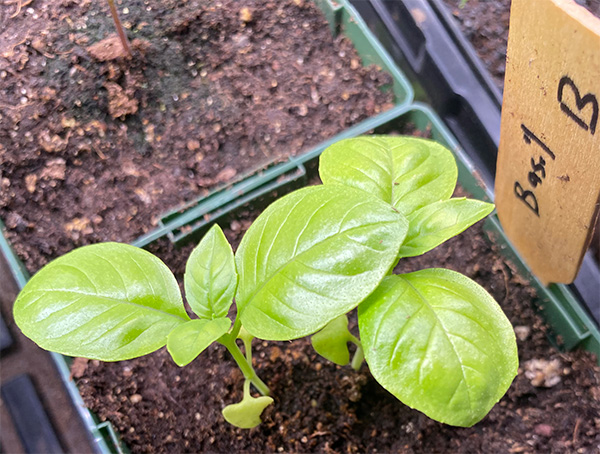 2020 Seed Starting Experiment Basil Recovered Repotted