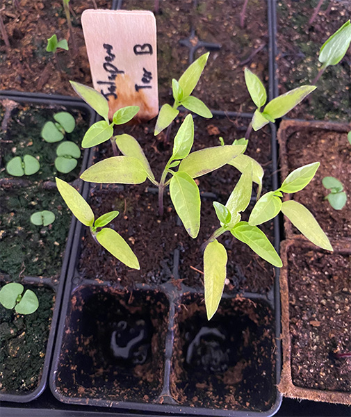 2020 Seed Starting Experiment Jalapeno Seedlings with Yellow Leaves