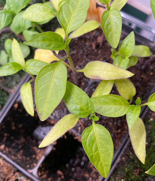 2020 Seed Starting Experiment Recovered Jalapeno Plant Yellow Leaves Closeup