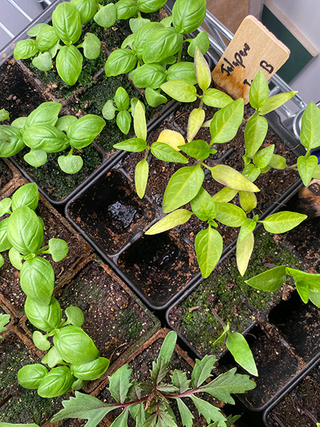 2020 Seed Starting Experiment Recovered Jalapeno Plant Yellow Leaves