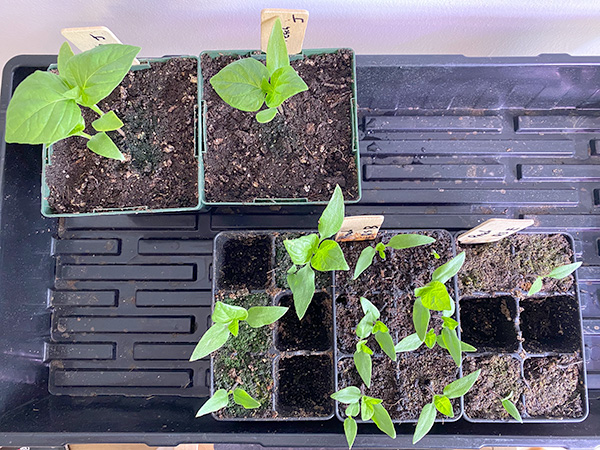 2020 Seed Starting Experiment Sugar Rush Peach Hot Pepper Comparison