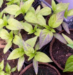 Jalapeno Seedlings Black Leaves
